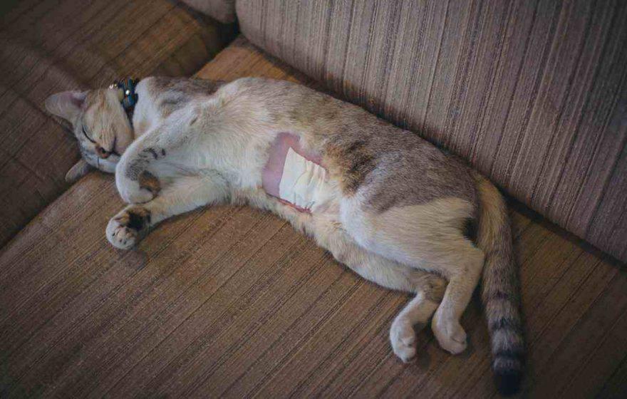 Criptorchidismo dei gatti:gatto operato