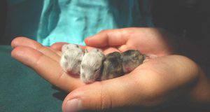 criceto mangia cuccioli