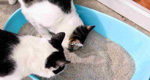 Gatto mangia le sue feci