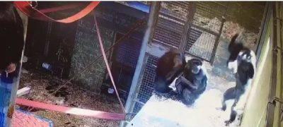 Scimpanze australia