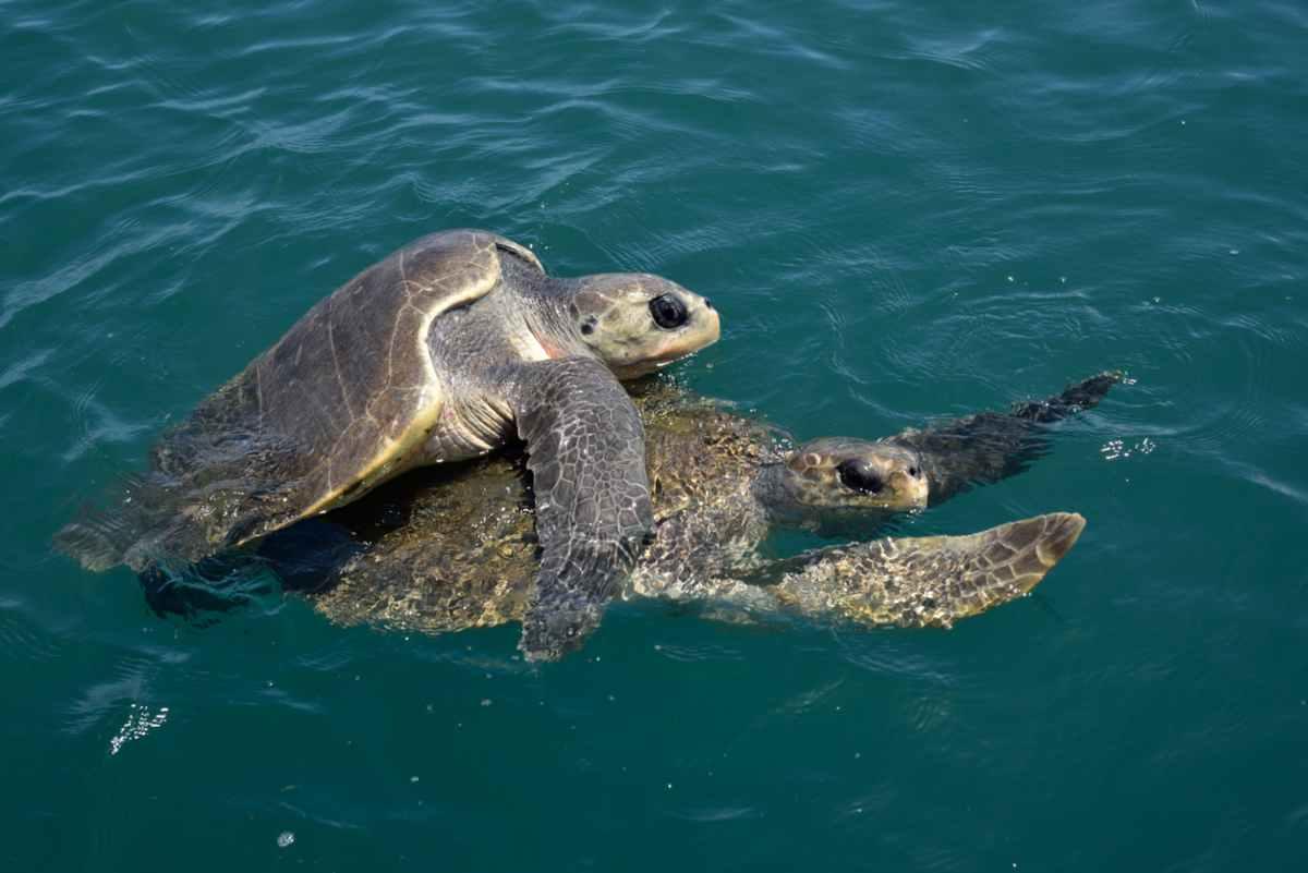 La riproduzione delle tartarughe d acqua