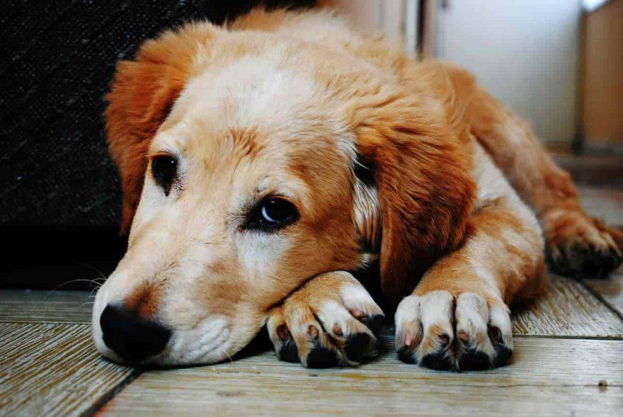 malattie trasmissibili ai cani da altri animali