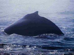 balene linguaggio