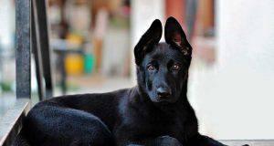 cani dal pelo nero