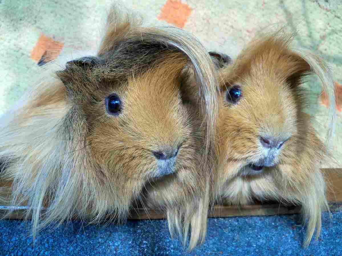 La cura del mantello del porcellino d'india a pelo lungo (foto Pixabay)