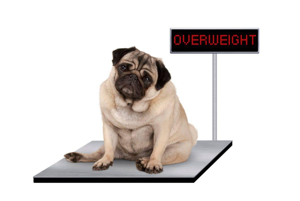 come fa perdere peso al cane