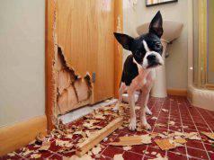 Il cane mastica tutto quello che trova