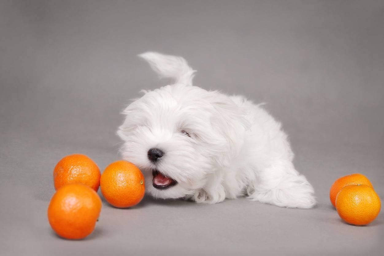 cane morde arancia