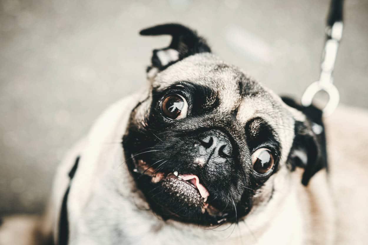 cane piega capo quando parliamo