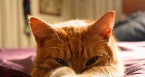 corpo estraneo occhio gatto