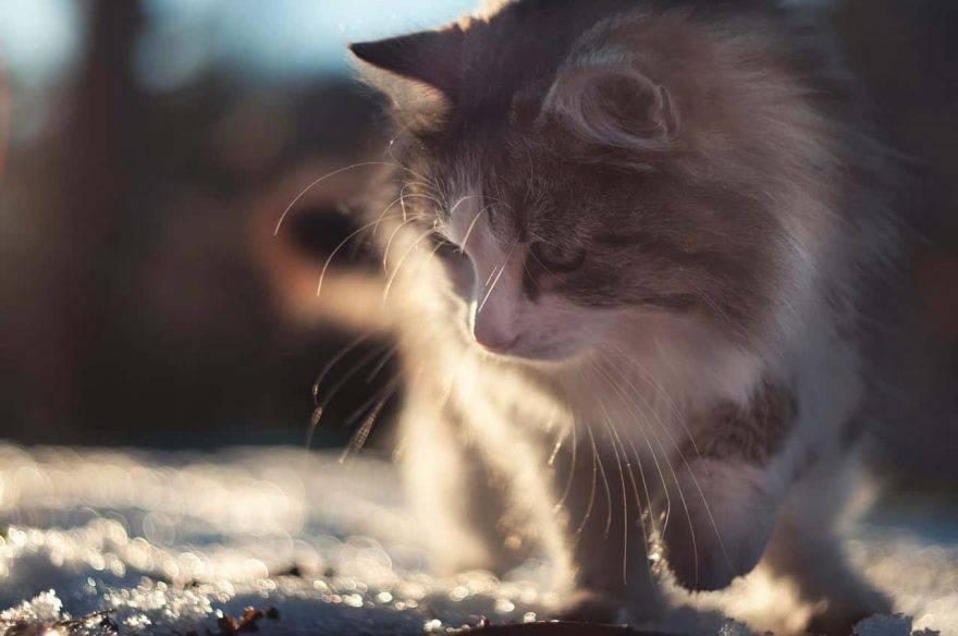 razze gatti freddo