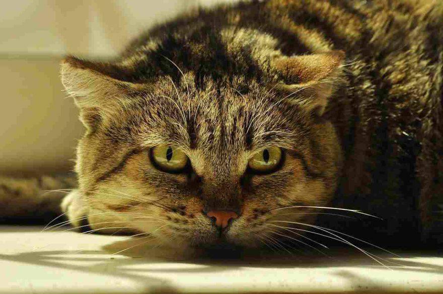 Artrite nel gatto