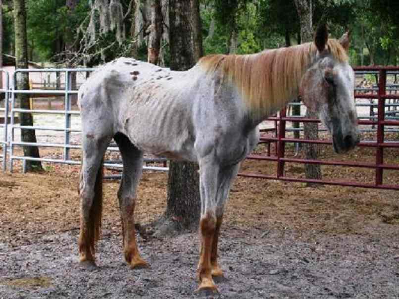 come fanno a testare i parassiti nei cavalli