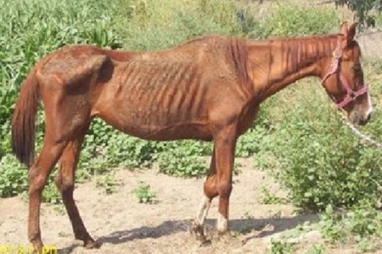 cavallo magro