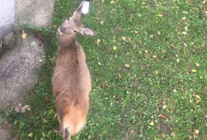 cerbiatto abbandonato