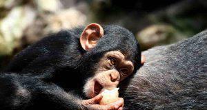 scimpanzè cane
