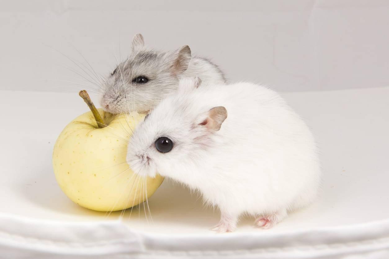 I criceti possono mangiare le mele