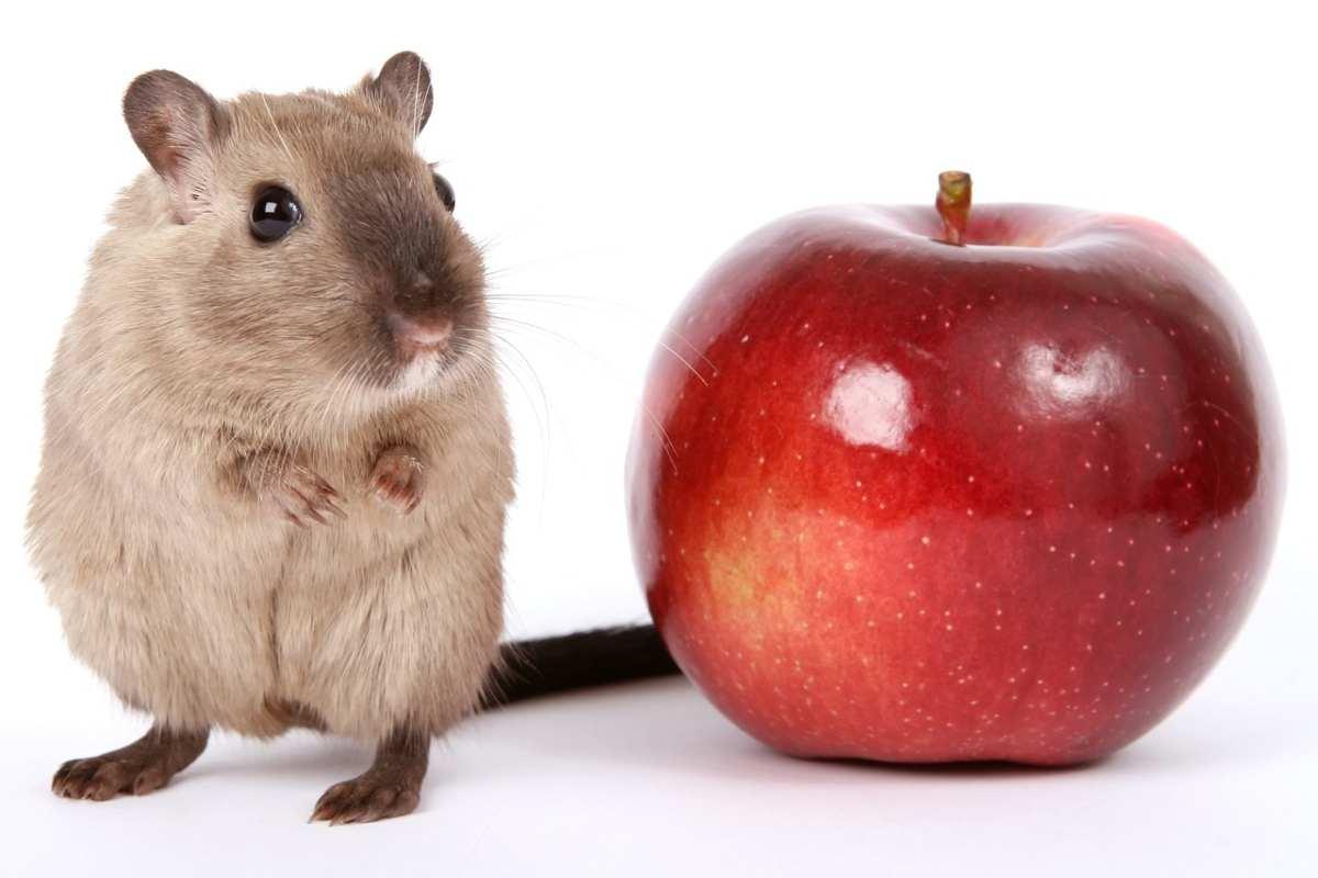 I criceti possono mangiare le mele?