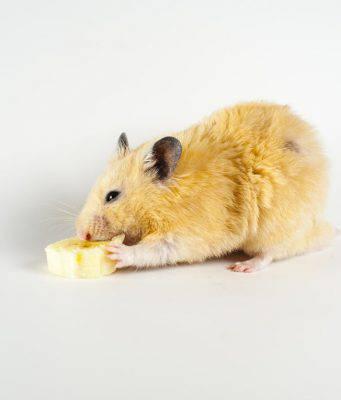criceto mangia banana