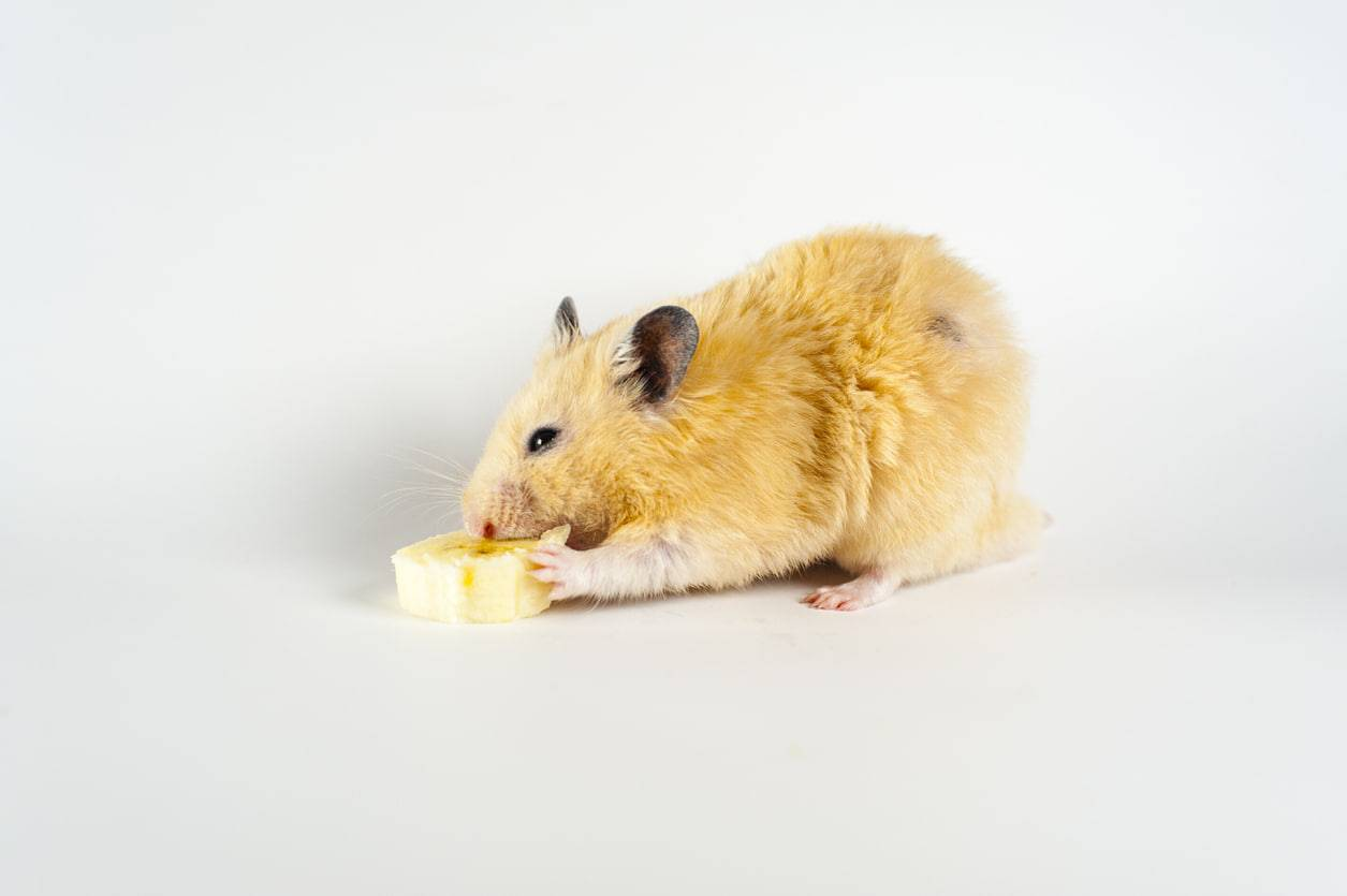 criceto mangia banane
