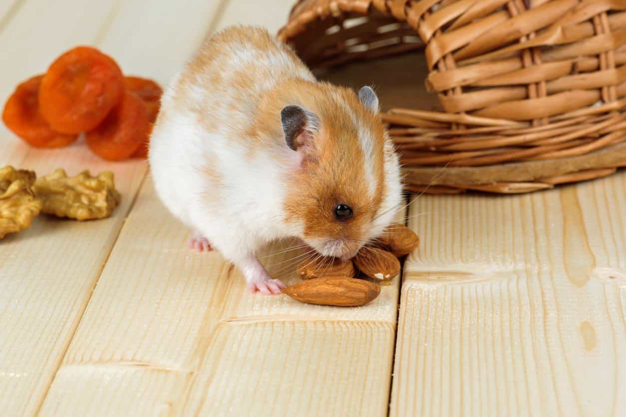 I criceti possono mangiare le mandole
