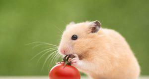criceto può mangiare il pomodoro