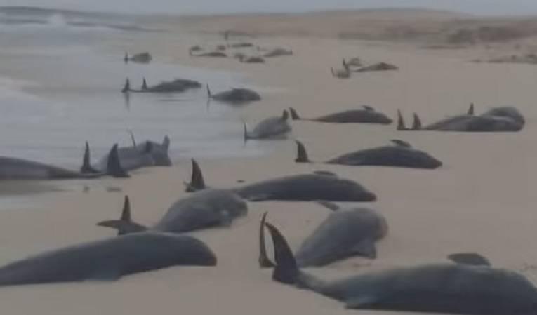 spiaggiamento cetacei capo verde
