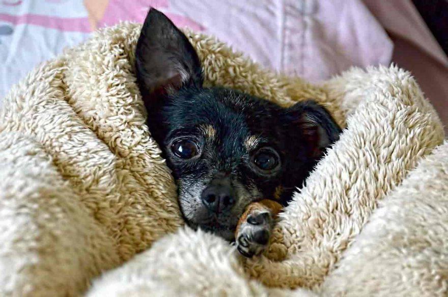 cane chihuahua freddo