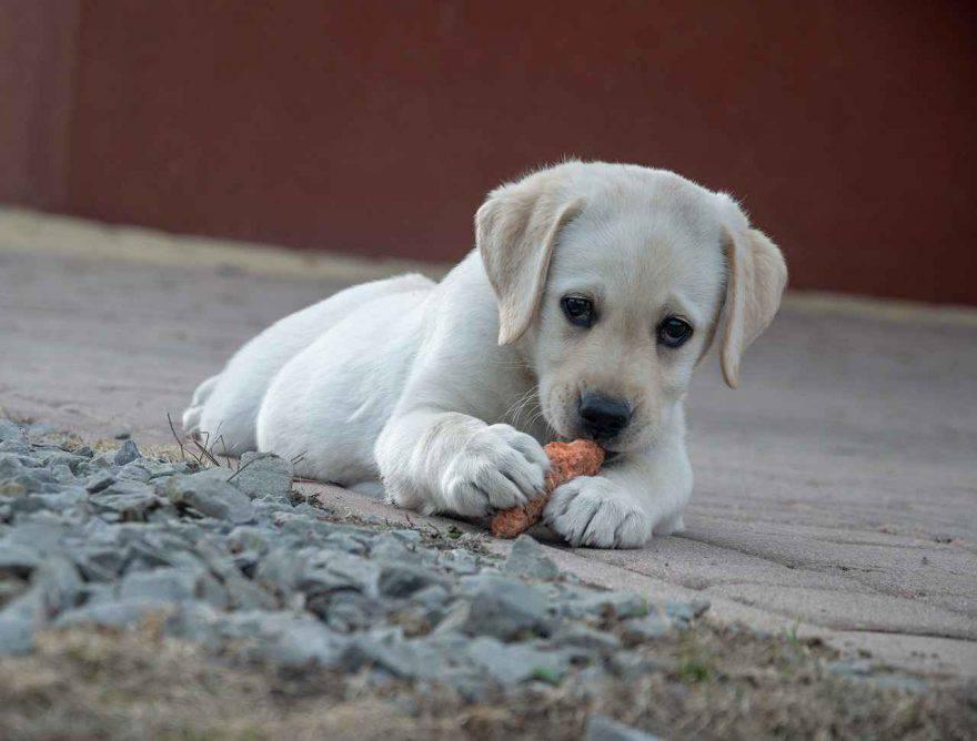 Cane mangia carote