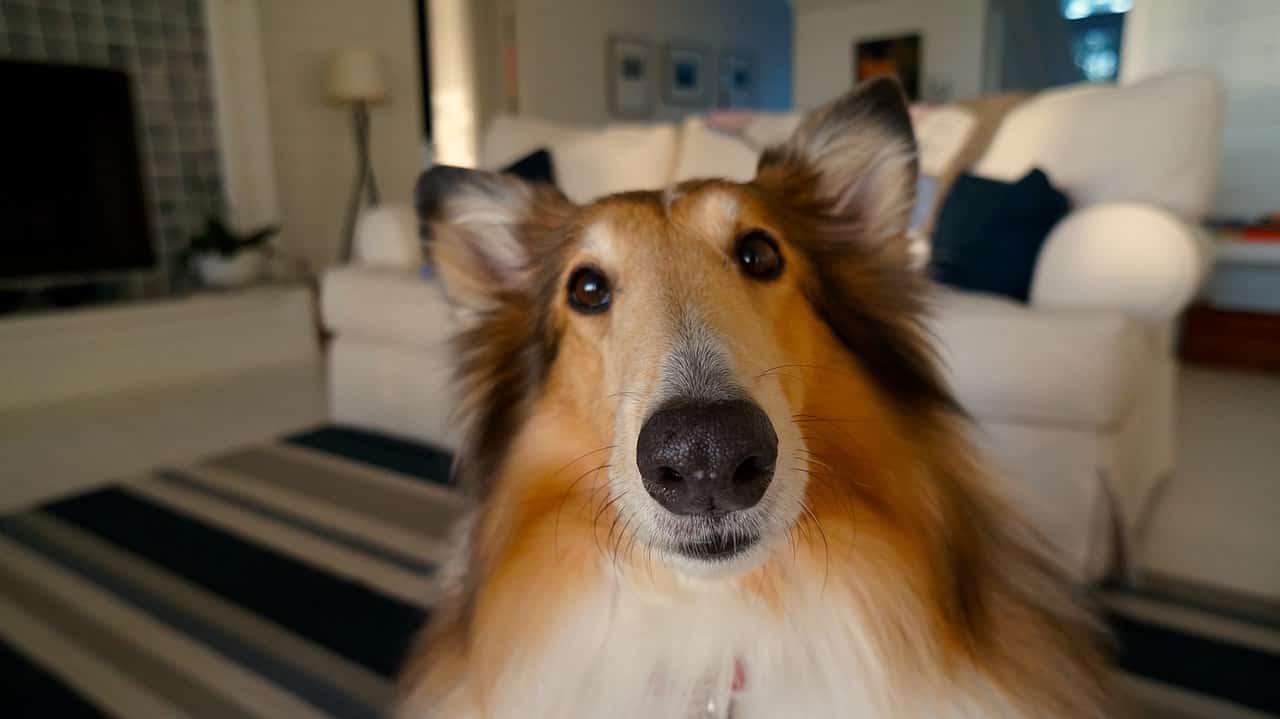 Come Tenere Pulita La Casa come tenere la casa pulita e profumata con un cane: consigli