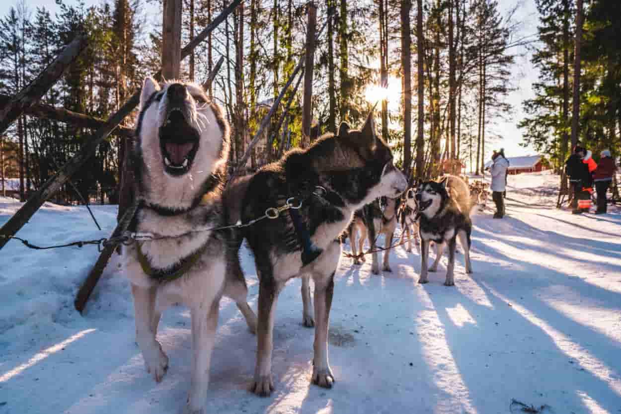 fa freddo cane eschimesi