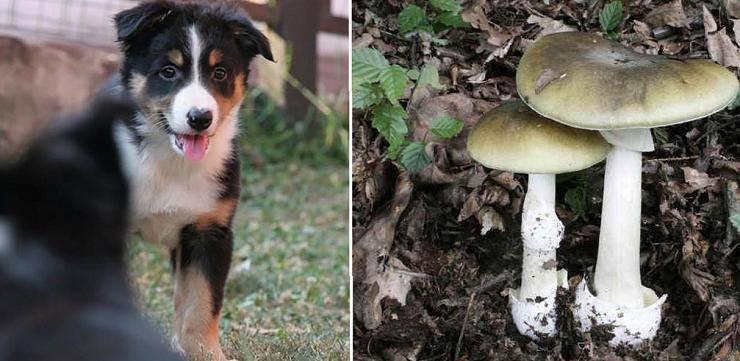 cane fungo velenoso