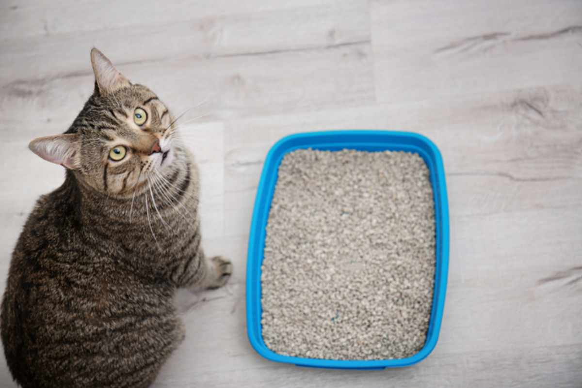 Allergia alla lettiera nel gatto
