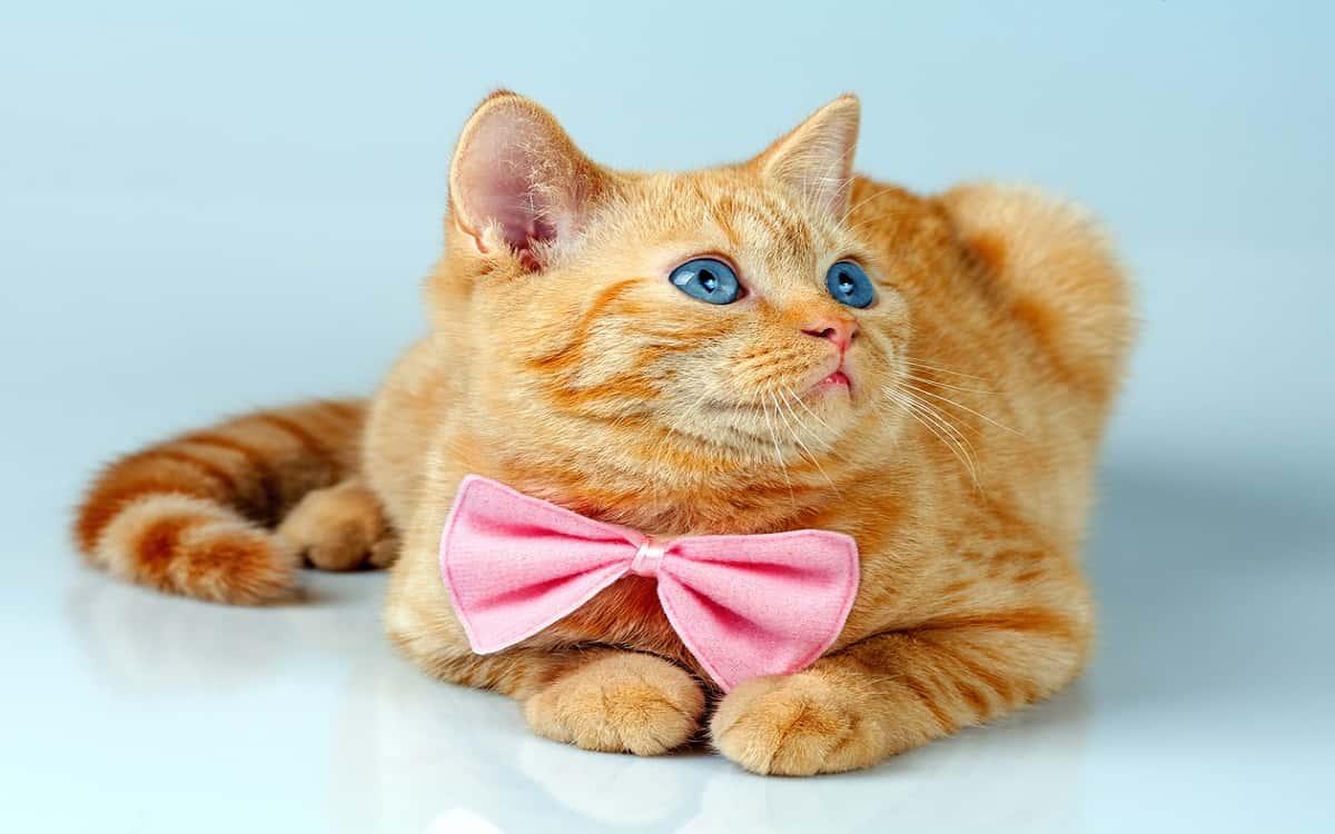 Come capire se un gattino è maschio
