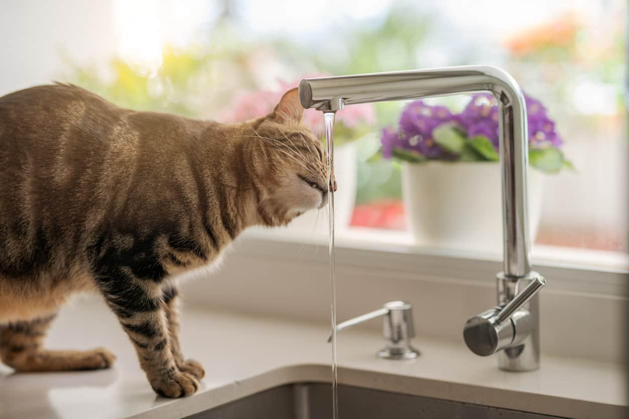 gatto abbevera acqua rubinetto