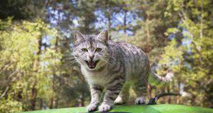 Che fare quando un gatto attacca di frequente