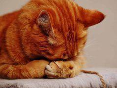 gatto indisposto
