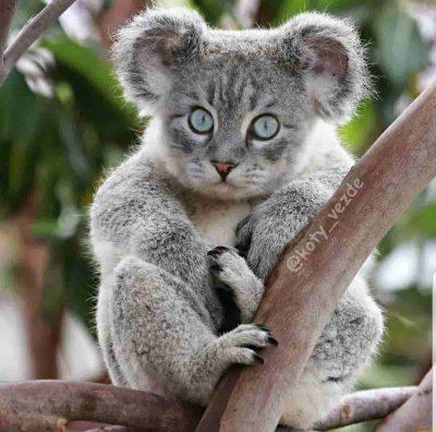 Gatto Koala