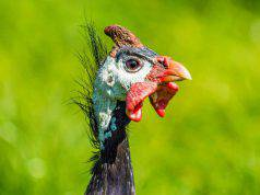 Aspergillosi uccelli
