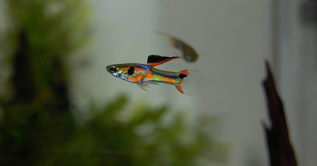 pesci rossi convivenza