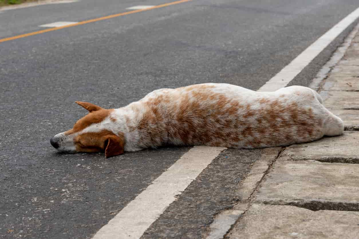 cane investito da auto