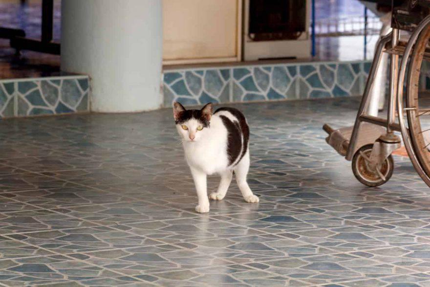 gatto a tre zampe