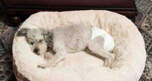 Incontinenza urinaria nel cane anziano