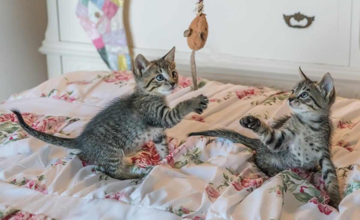 gattini graffiano ricerca