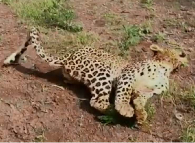 leopardo soccorso animali