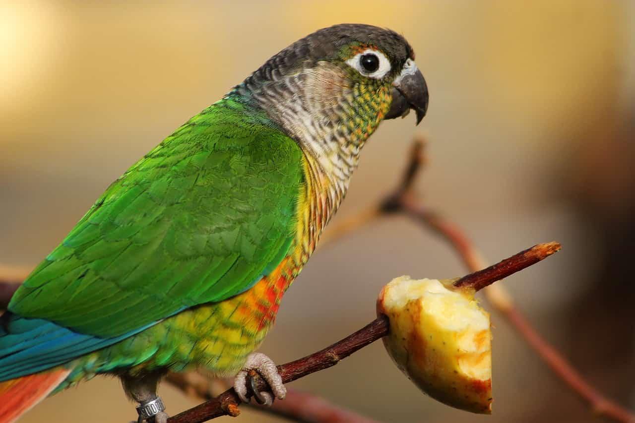 modificare cibo pappagallo