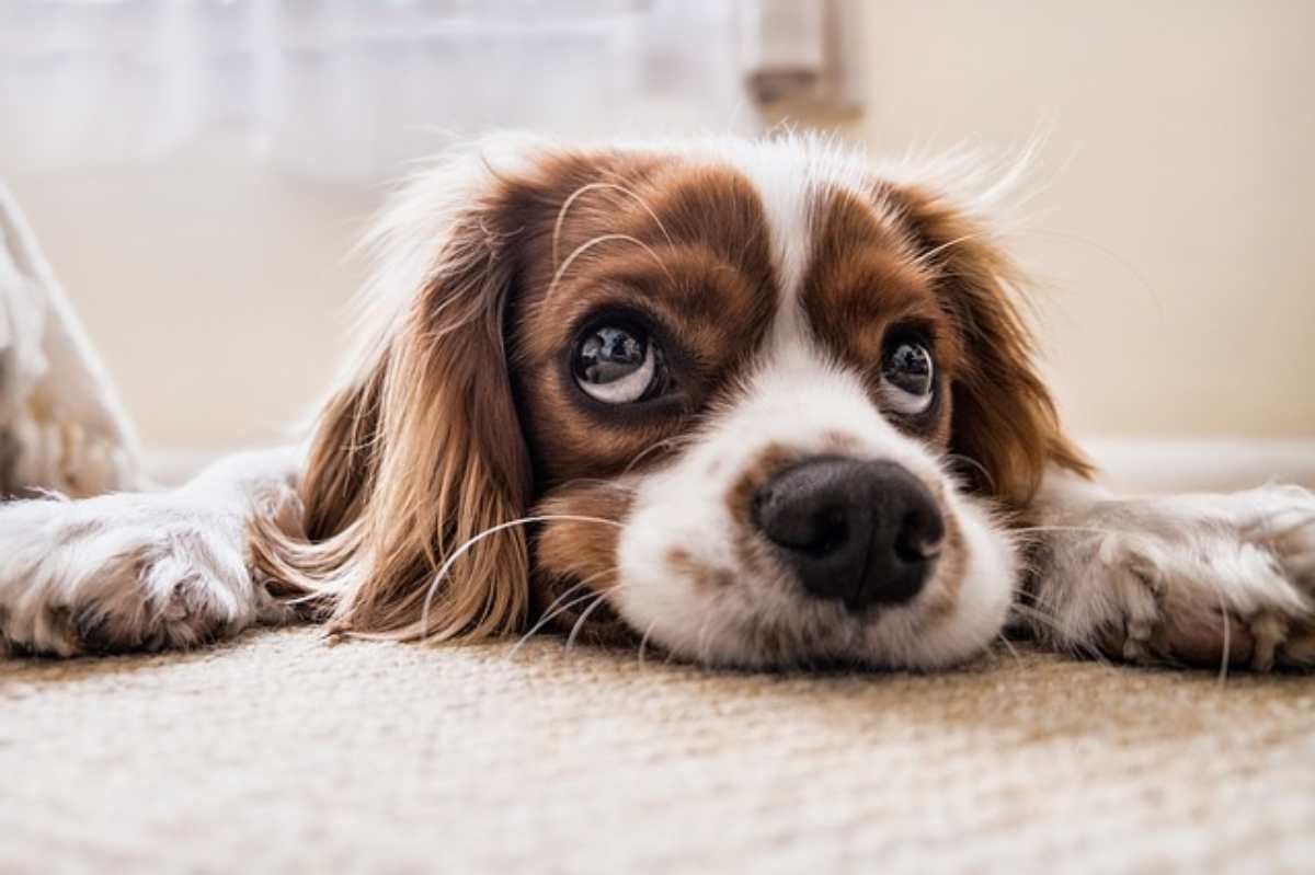 occhio secco nel cane