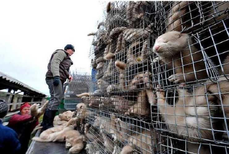 allevamenti pellicce