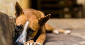 Peritonite nel cane