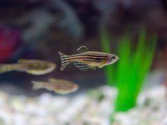 La riproduzione del pesce zebra